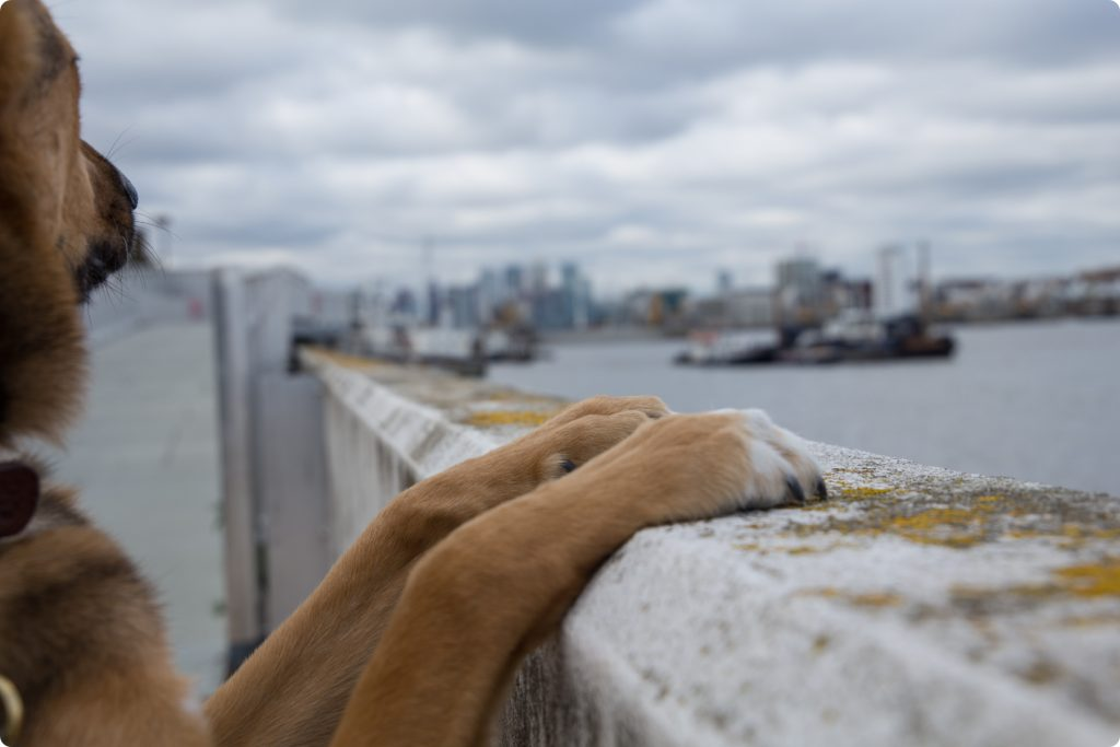 Paws of a dog on the railing on the Thames Path in Woolwich