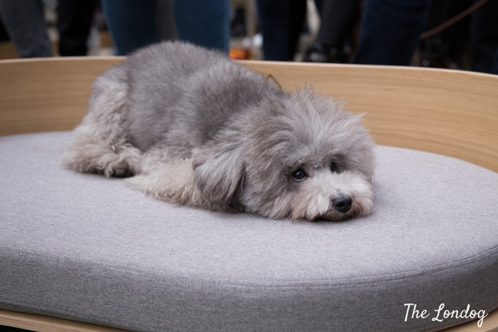 Theodore the grey dog rests on a bed up for auction at STRUZ