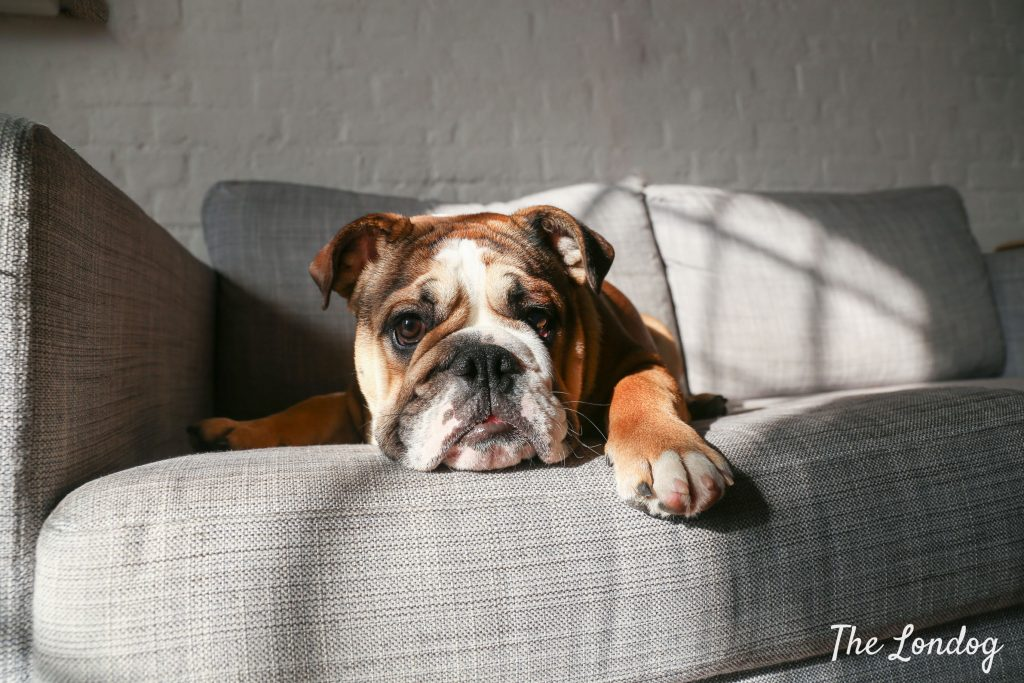 Bulldog puppy on a grey sofa in a flat in London