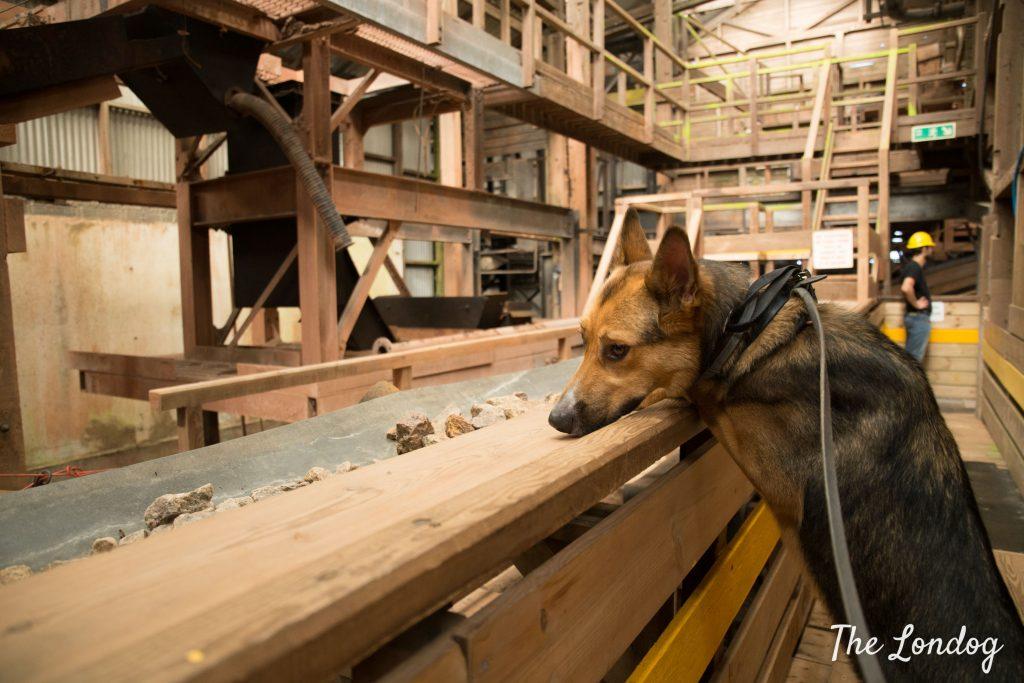 Dog at the dog-friendly Geevor Tin Mine