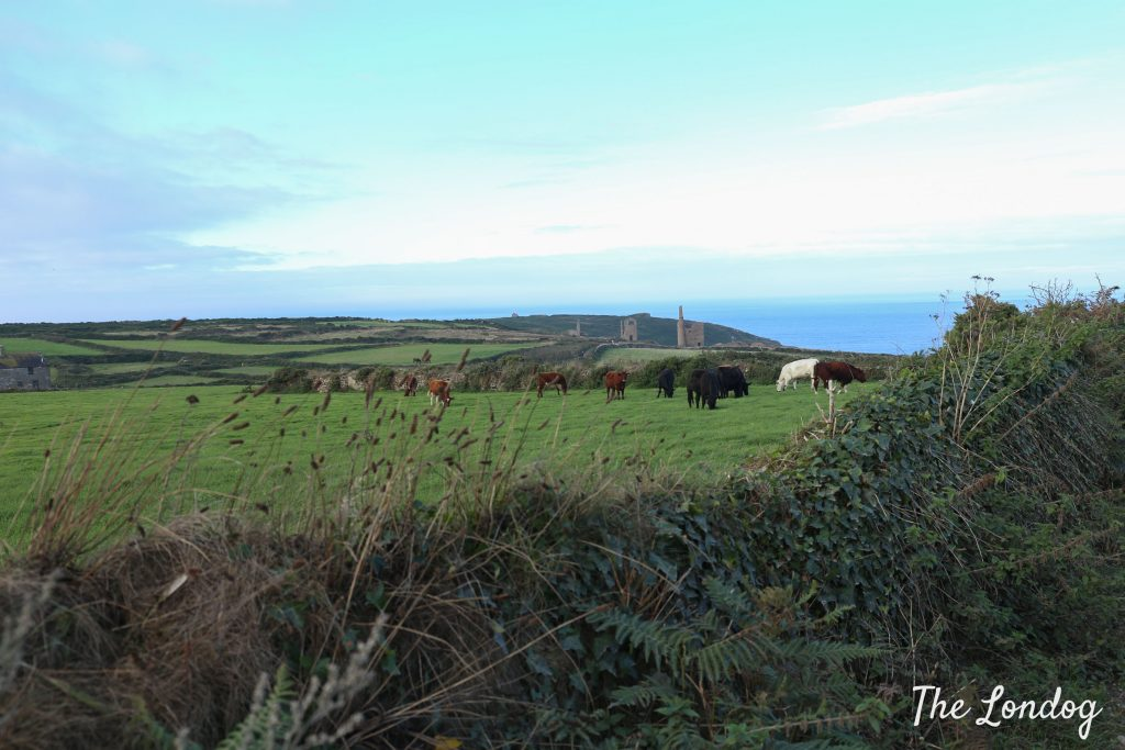 Cattle on the walk from Botallack in Cornwall