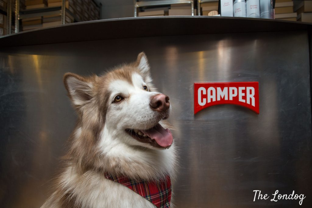 Malamute at dog-friendly Camper store in front of counter