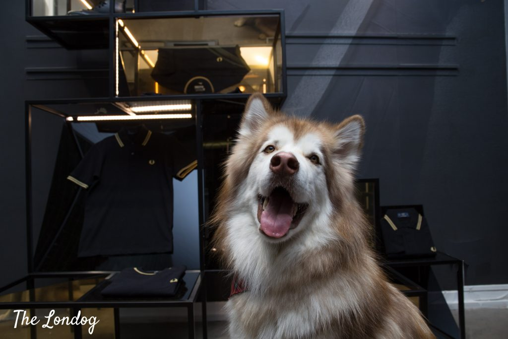 Malamute dog at Dog-friendly store London Fred Perry in front of polo t-shirts