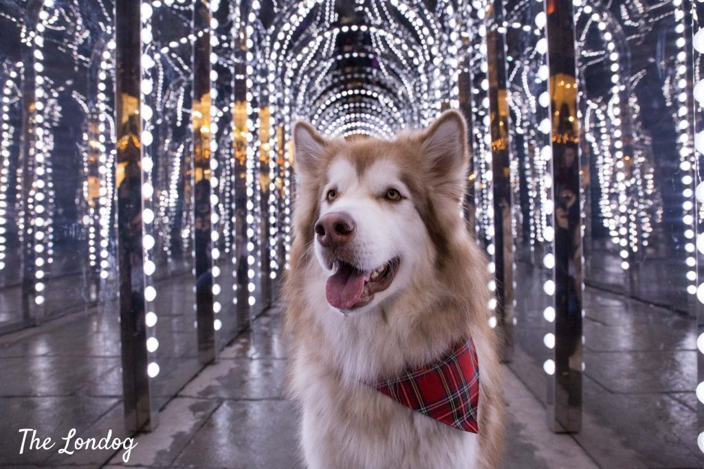 Malamute dog with Christmas lights