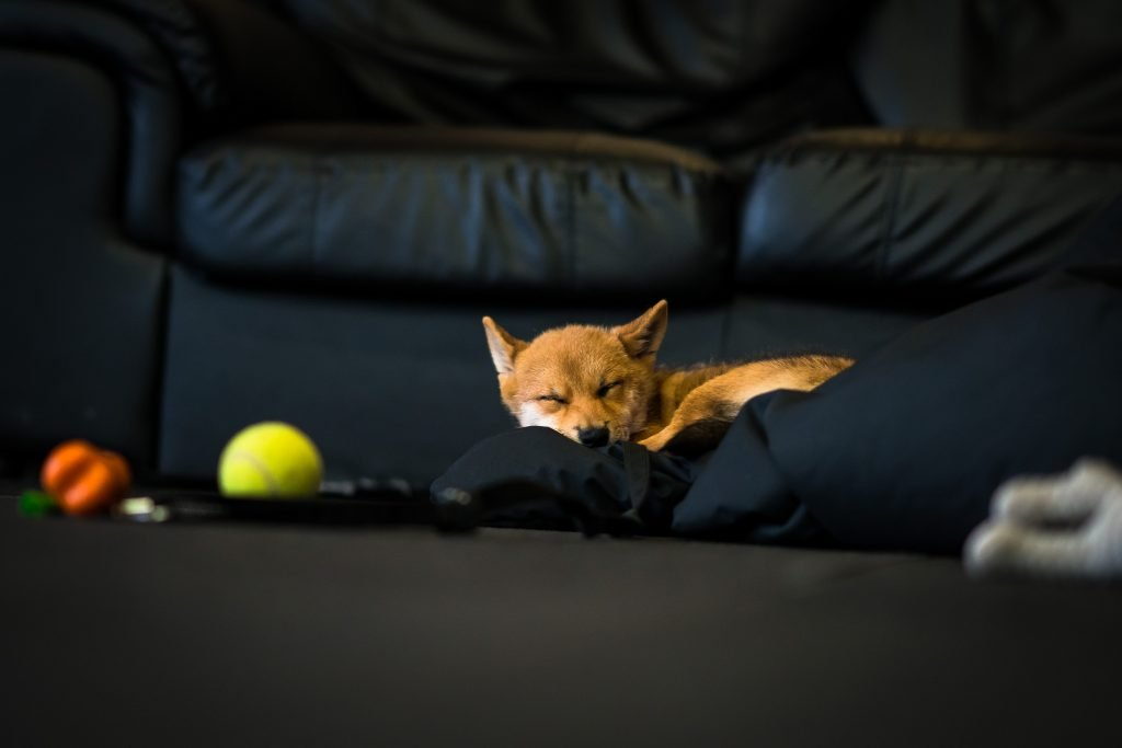 Small Shiba dog sleeping on a black bag near a tennis ball at Reebok CrossFit Thames gym
