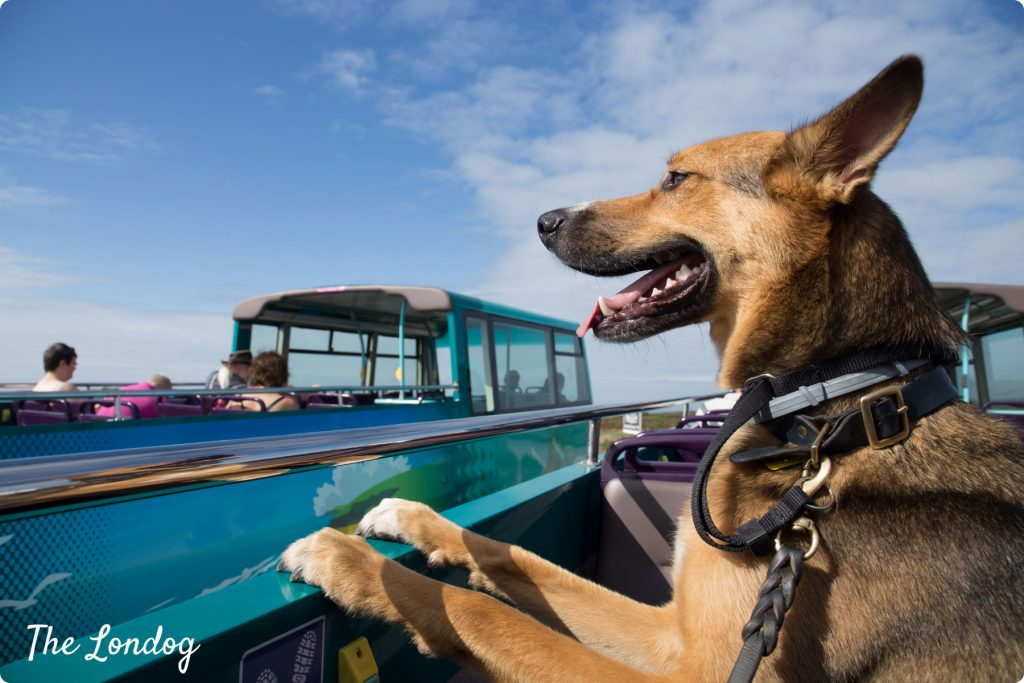 Dog on open-air bus enjoys his dog-friendly getaway in Cornwall
