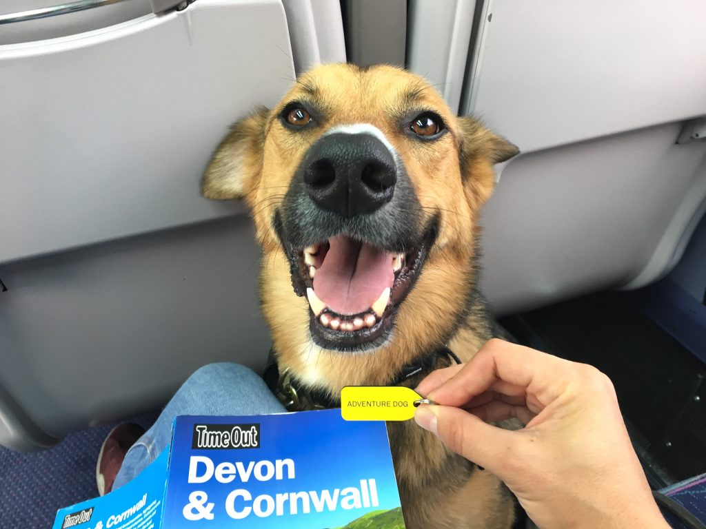 German Shepherd cross dog sits between seats on the train to Cornwall while his owner has a travel guide on her lap and an adventure dog tag