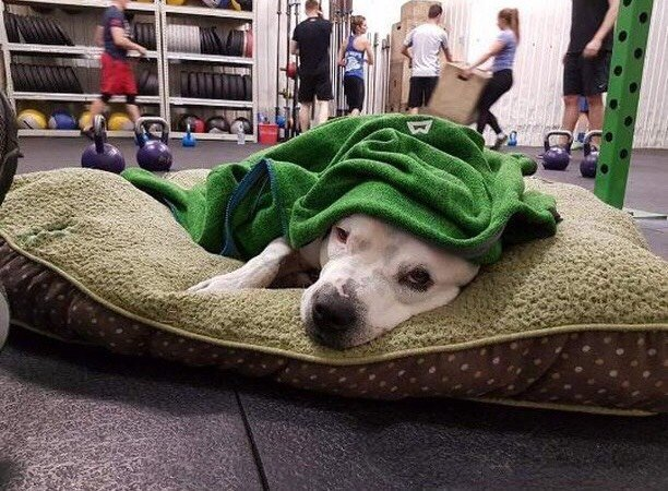 Rescue staffie taking a nap on a pillow at CrossFit Central London gym while people exercise