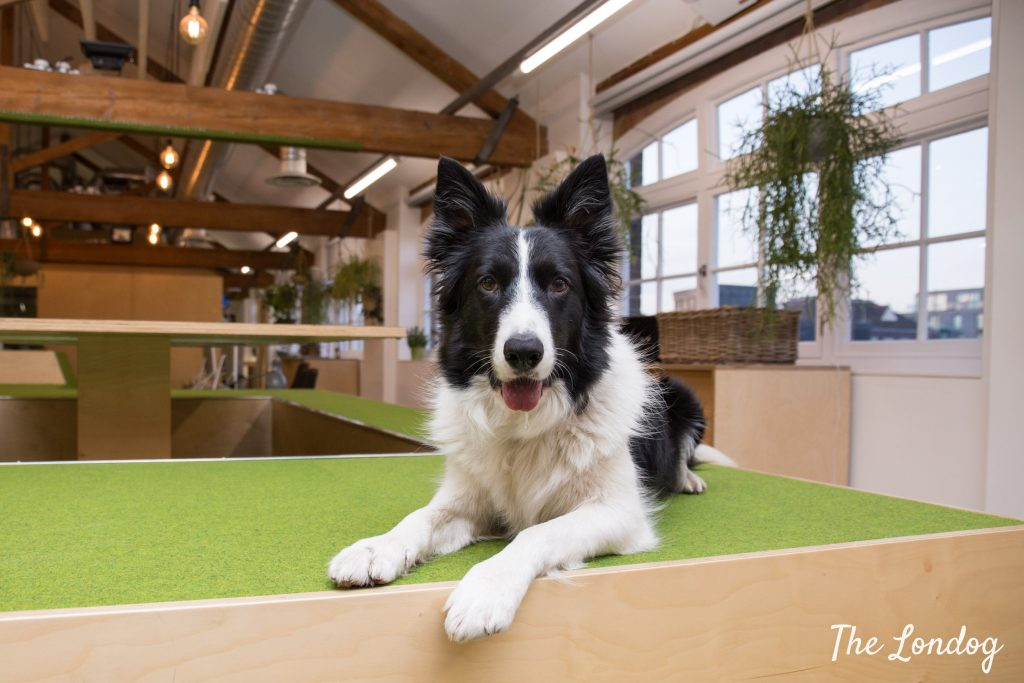 Border Collies stares at the camera while sitting on wooden structure at Airbnb HQ