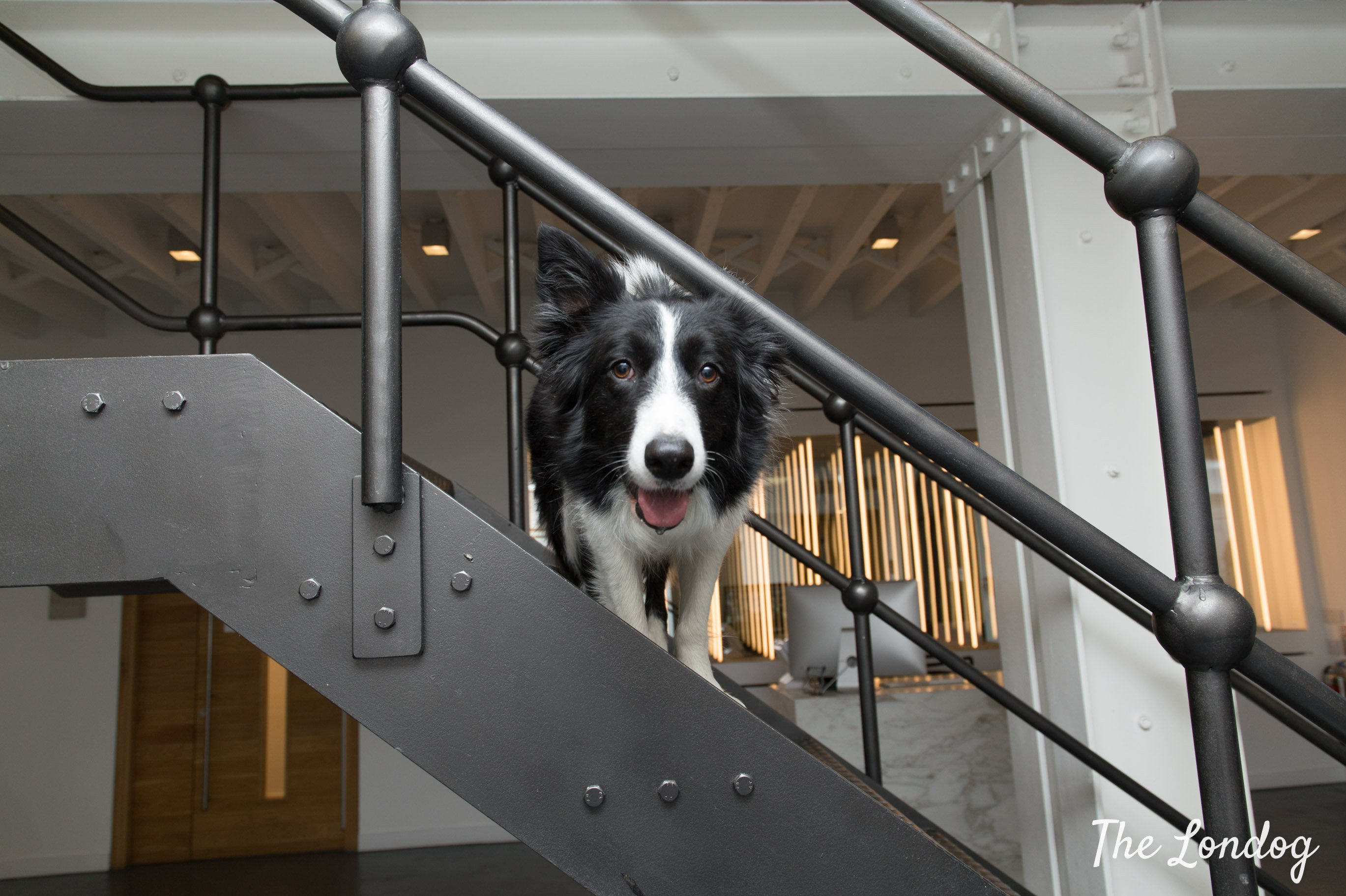 Border Collie office dogs peeks out from a metal staircase at Airbnb offices in London