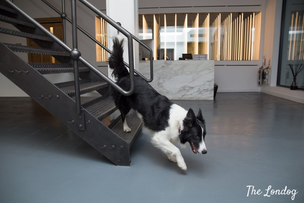 Office dog border collie runs down a metal staircase at Airbnb HQ in London