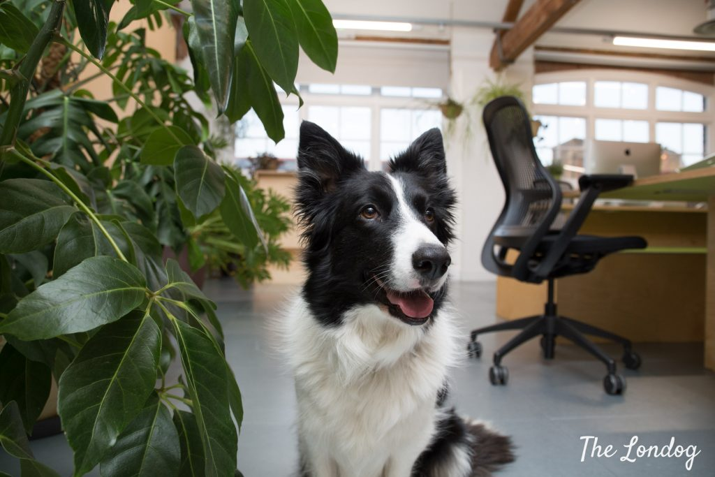 Border collie office dog poses at the office at Airbnb HQ in London