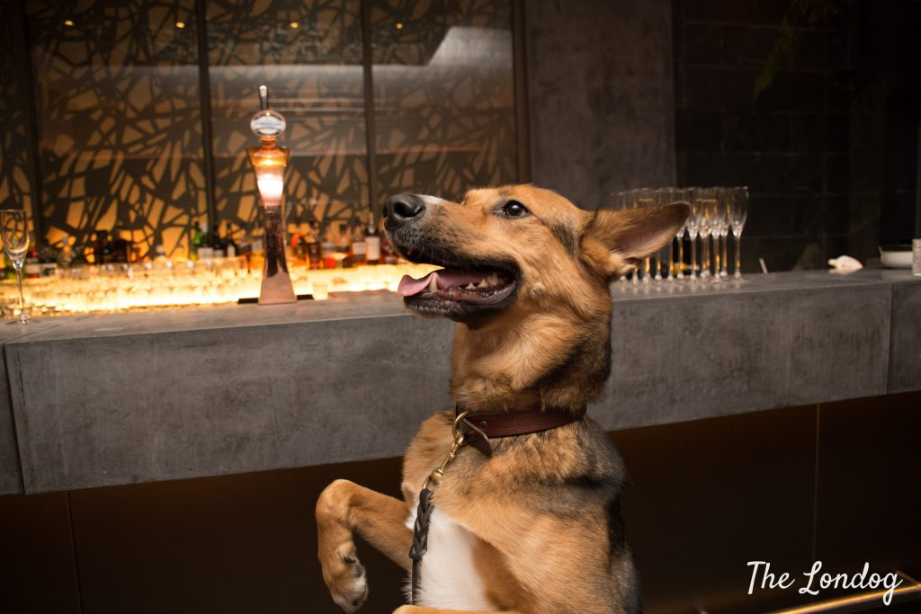 Large crossbreed dog stands on his legs in front of bar at South Place Hotel Secret Garden