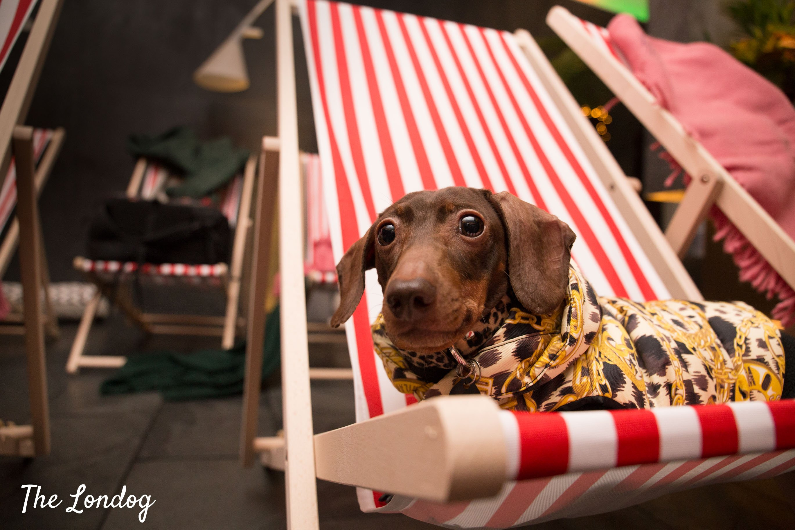 Pop the Sausage dog with a dog coat, on a deckchair red and white