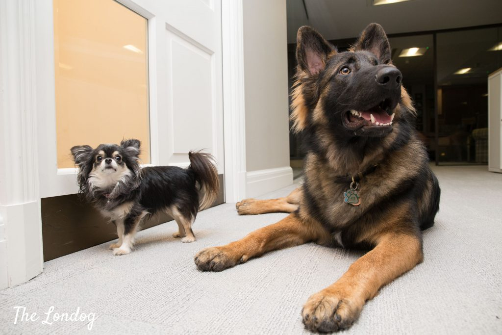 Chihuahua and German Shepherd office dogs lie on the carpet near a door