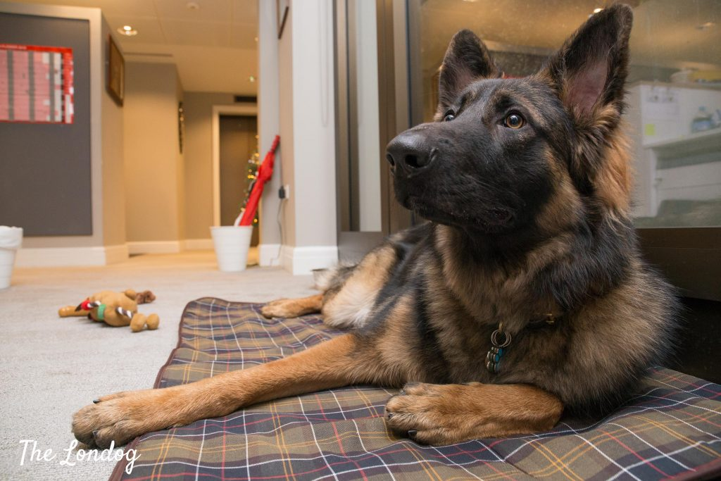 German Shepherd office dog lies on a matt near the window