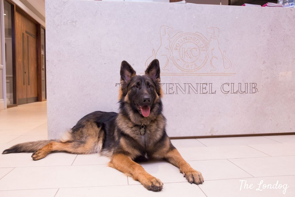 German Shepherd office dog in front of marble table counter of The Kennel Club