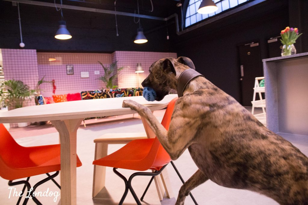 Whippet stands on hinder legs to grasp a ball on a wooden table at the office