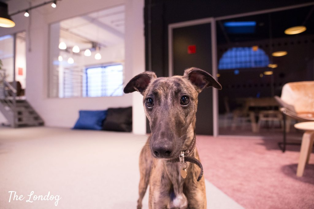 Young Whippet looks interested into the camera at the office