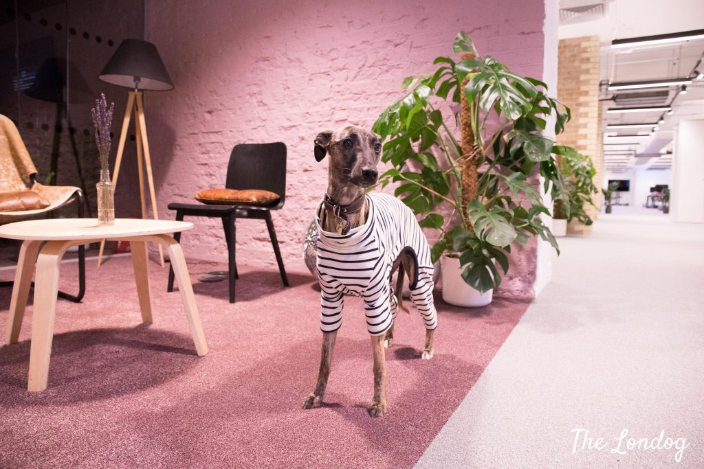 Whippet office dog wears striped jumper while standing on pink carpet