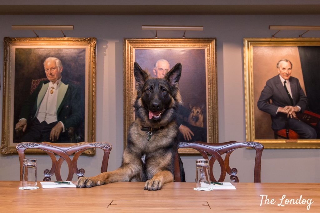 German shepherd office dog at Kennel Club meeting room