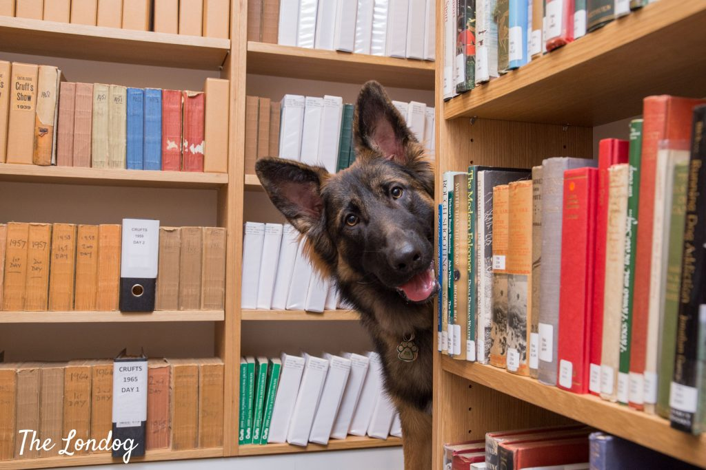 German shepher office dog peeks from library shelves