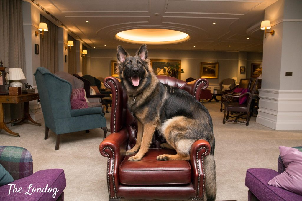 German Shepherd sits on red leather armchair at the Kennel Club's members club