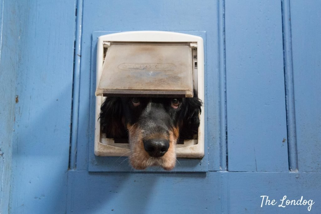 Spaniel dog peeking out from cat flap through a blue door at dog-friendly airbnb