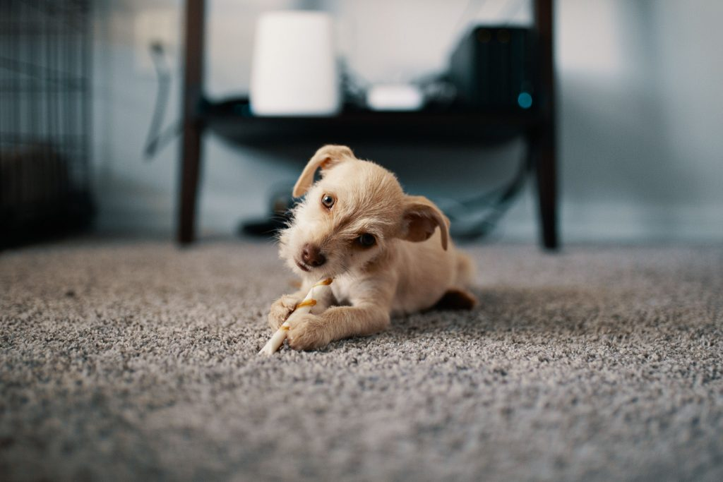 Puppy dog chewing something on the carpet in a dog-friendly hotel