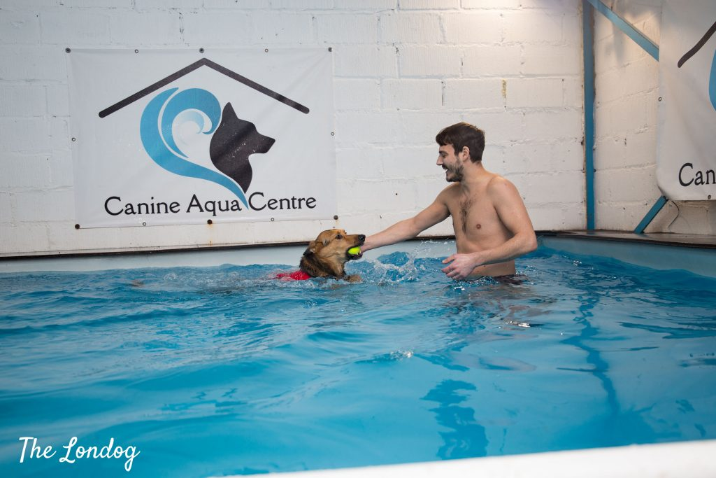 Crossbreed dog swims in indoor swimming pool with his owner