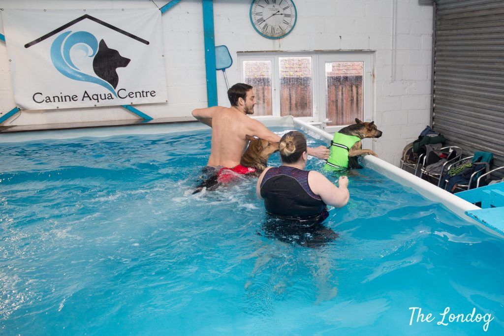 dog with floating jacket tries to jump out of indoor swimming pool