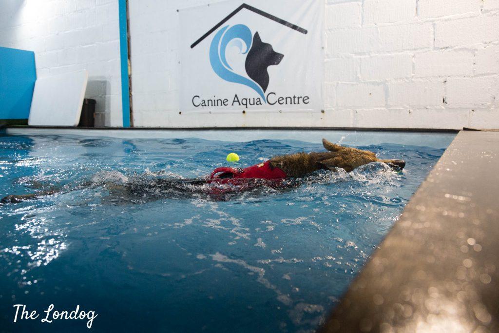 German Shepherd cross dog swims in indoor pool retrieving a ball