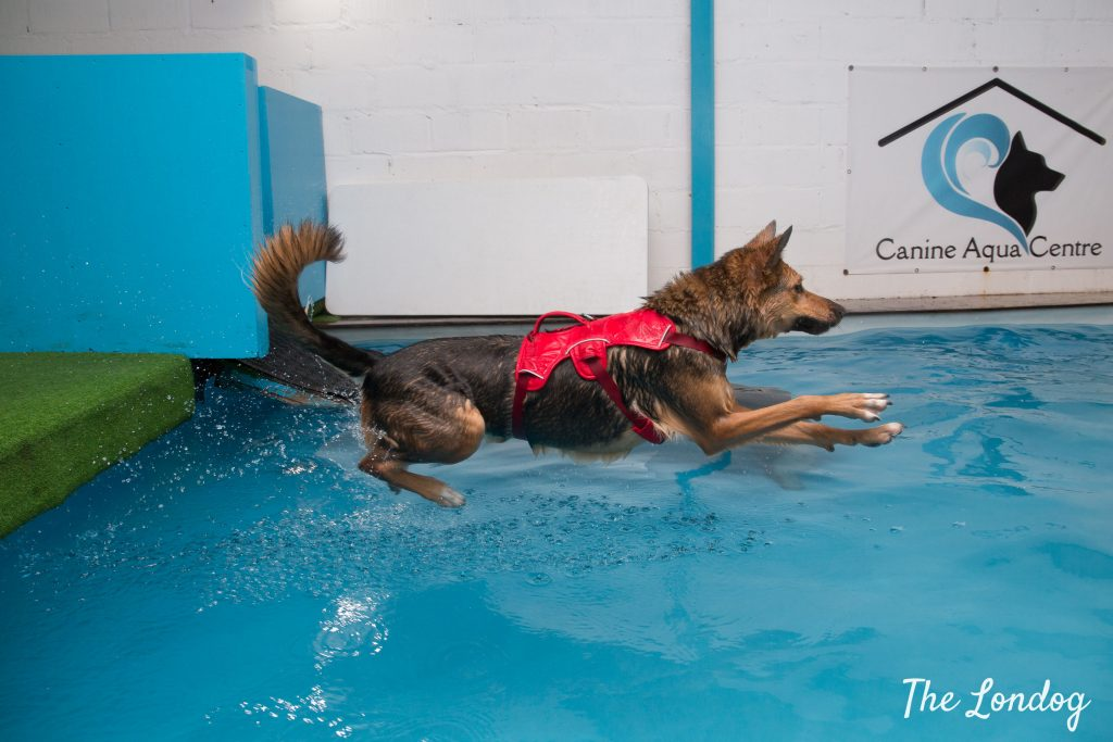 Large black and tan dog jumps into an indoor swimming pool