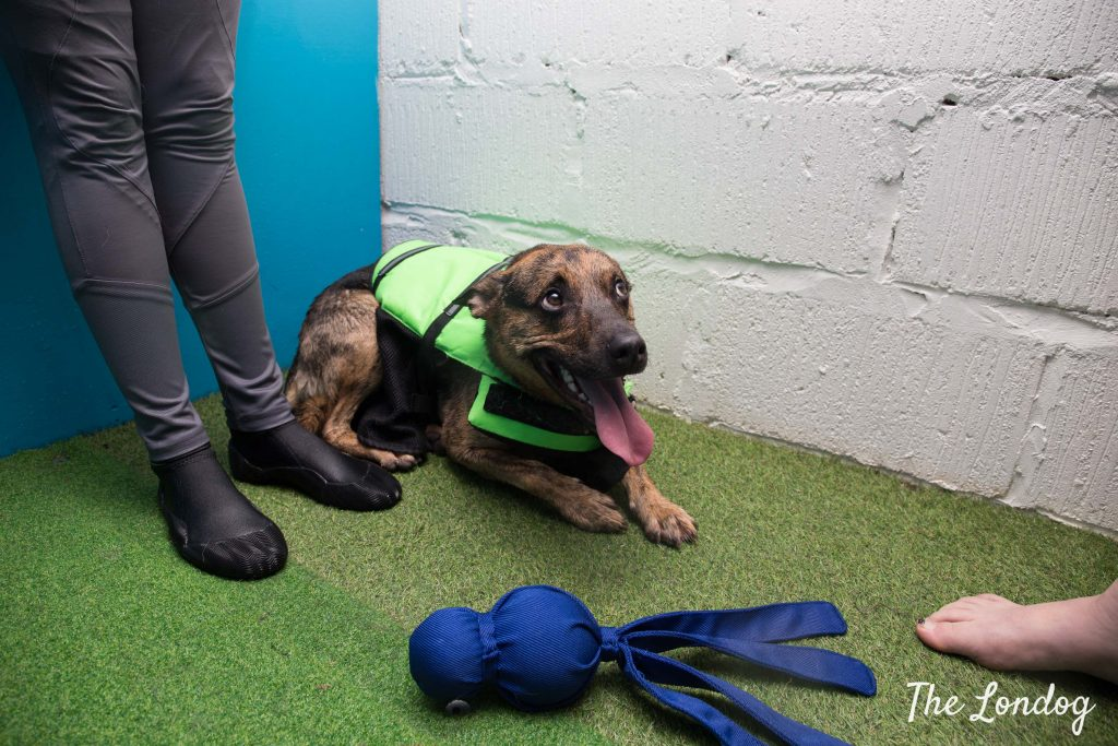 Rescue dog with floating jacket lies on the floor after swimming