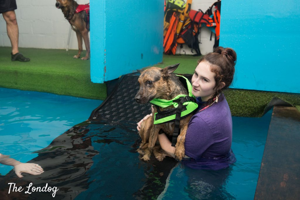 dog enters indoor swimming pool assisted by hydrotherapist