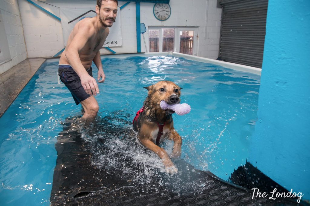 Dog runs out of the water from an indoor swimming pool carrying a toy in his mouth