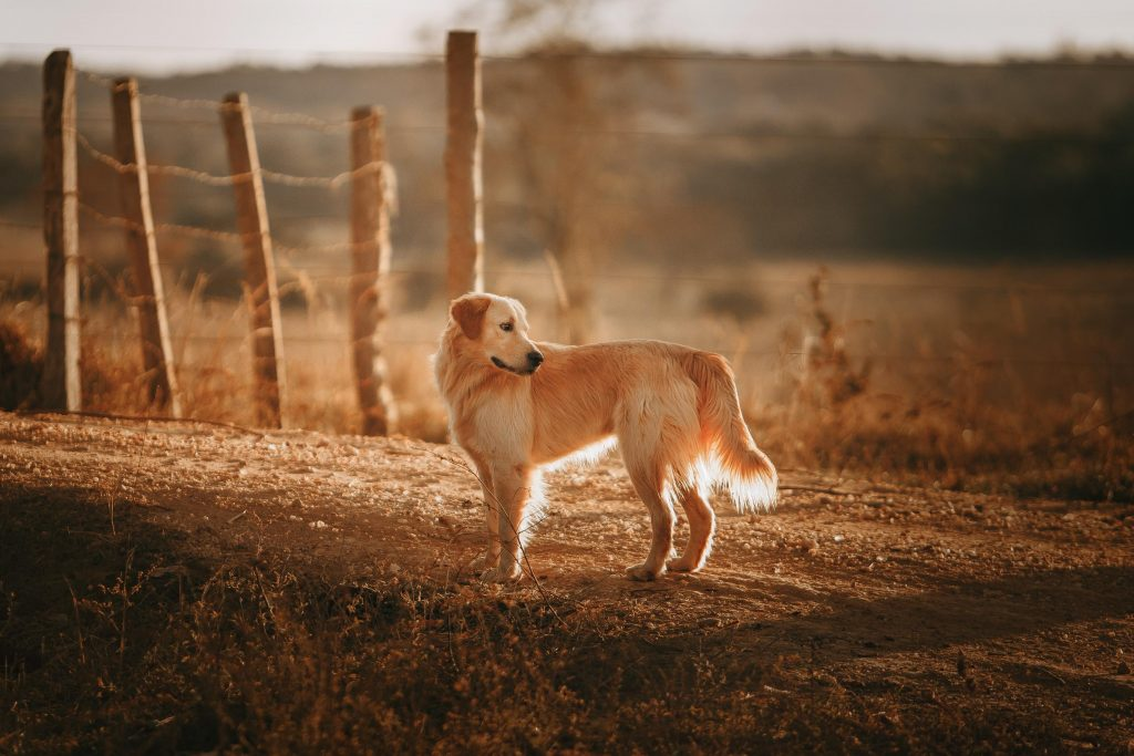 Golden retriever dog in the countryside on holiday