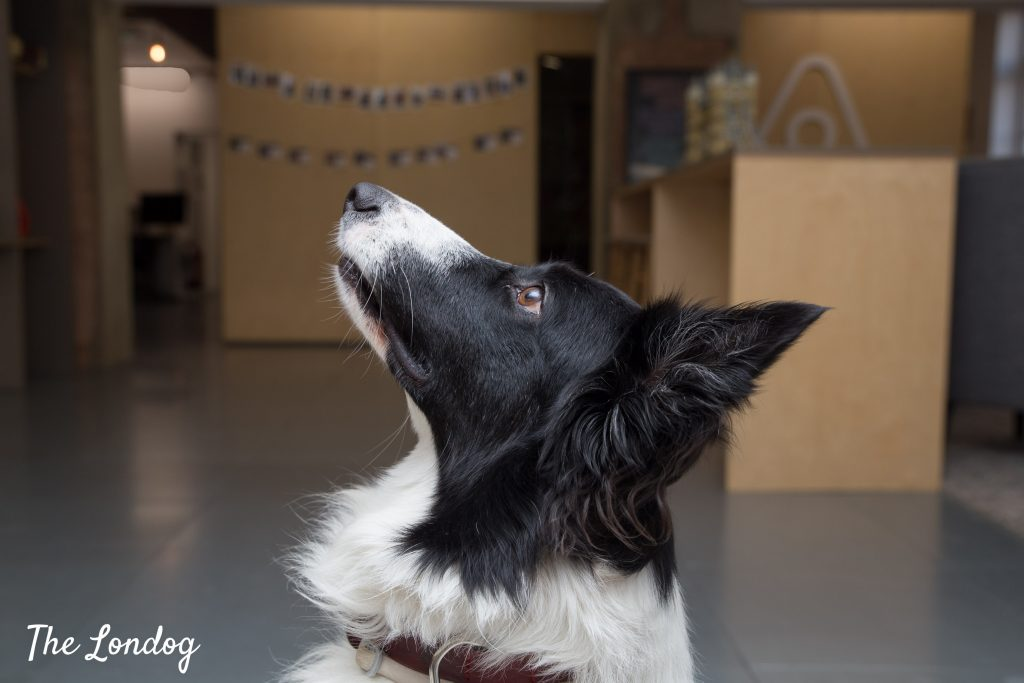 Close-up of Border Collie's profile at Airbnb office