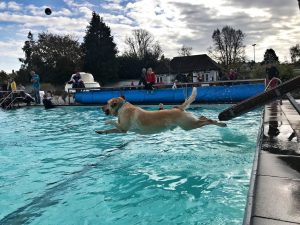 Dog diving into swimming pool at dog swim