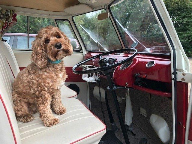 Cockapoo sits on VW campervan seat