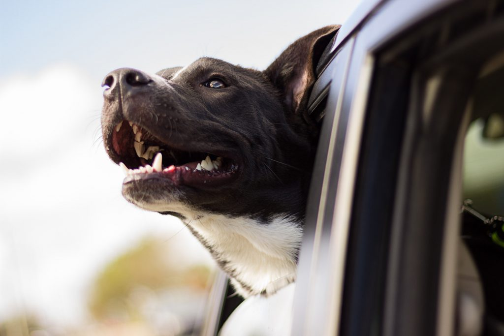 Dog with his head out of car window