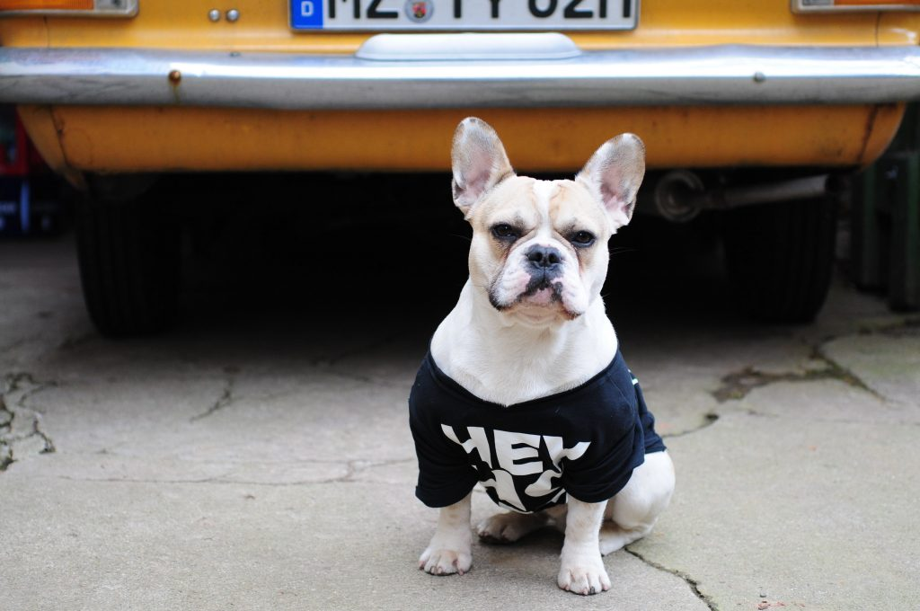 Frenchie in front of classic car