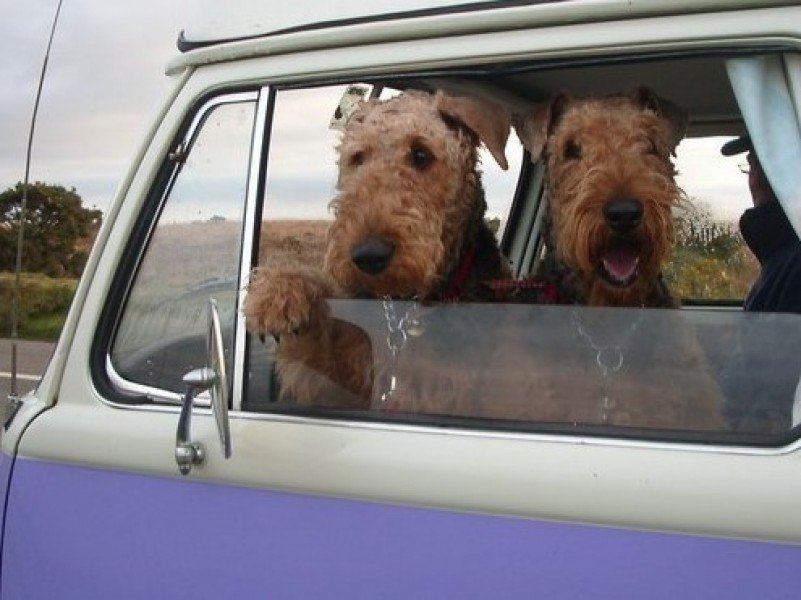 Fox terrier dogs look out of the window on a VW vintage camper