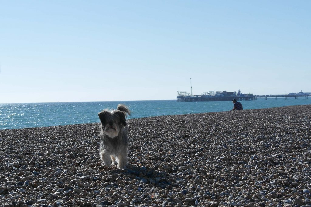 Small dog on pebbles beach in Brighton