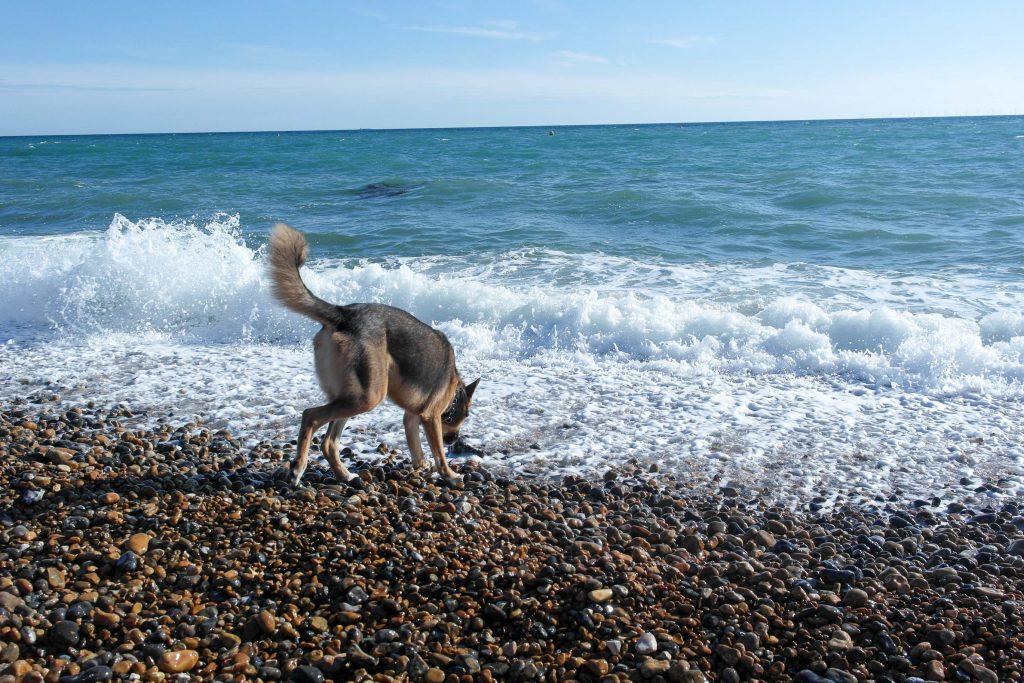 Dog on Brighton beach investigates the water