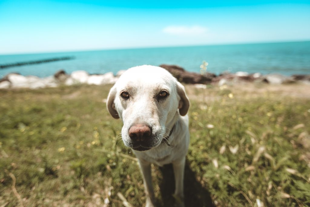 Blonde Labrador on grass with sea on background on a sunny day