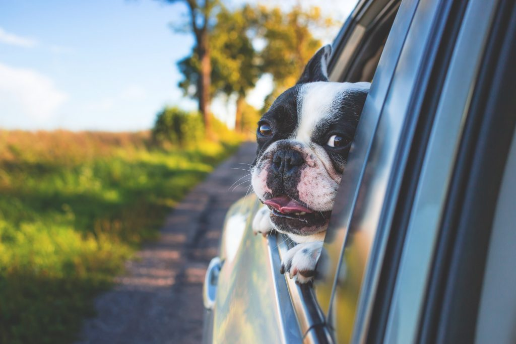 Small dog puts its head out of car window in the country