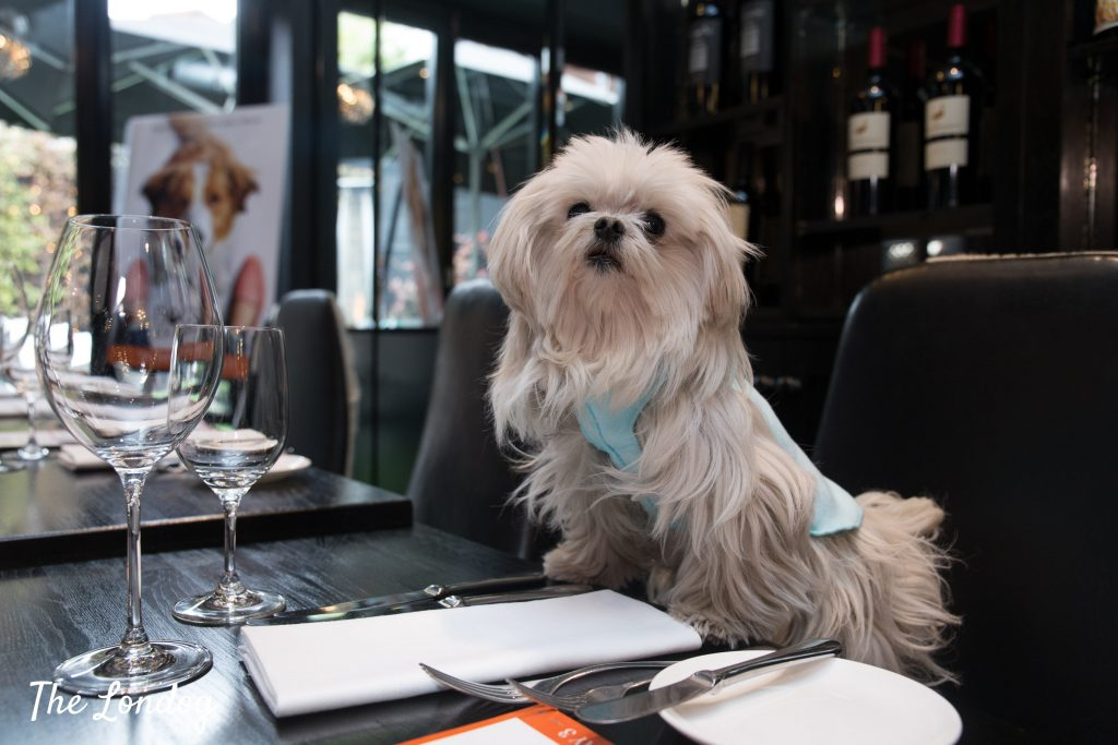 Lilliput the dog influencer at Gaucho