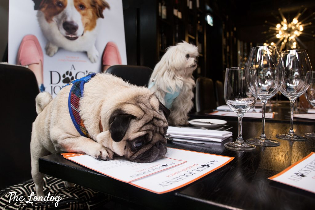 Gizmo the pug and Lilliput the maltese sit at table at Gaucho
