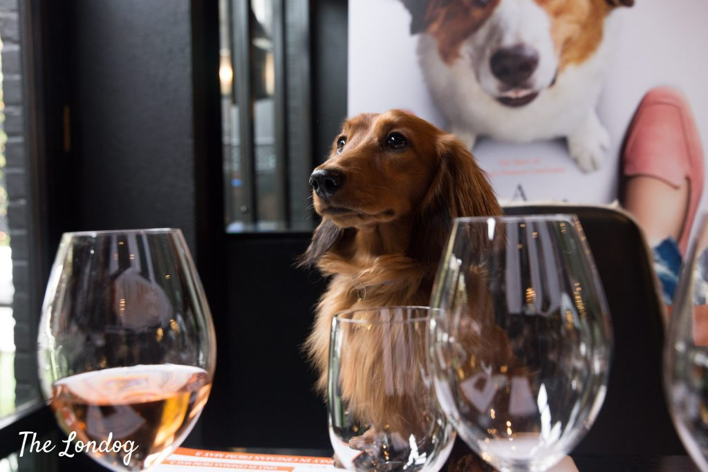 Sausage dog at table between glasses